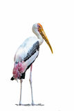 Painted Stork or Mycteria leucocephala. Royalty Free Stock Images
