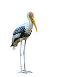 Painted Stork or Mycteria leucocephala. Stock Images