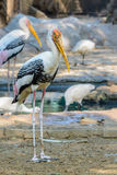 Painted Stork or Mycteria leucocephala. Royalty Free Stock Image