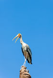 The Painted Stork (Mycteria leucocephala )  bird act for camera Stock Photo