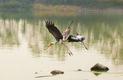 The Painted Stork (Mycteria leucocephala ) bird flying Royalty Free Stock Photos