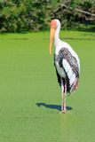 Painted Stork (Mycteria leucocephala)  bird standing in green na Stock Image