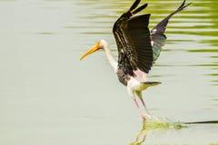 Painted Stork (Mycteria leucocephala ) birds starting to fly Royalty Free Stock Photo