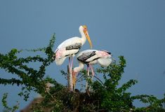 Painted Stork (Mycteria leucocephala) Stock Photo