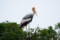 Painted Stork Mycteria leucocephala Royalty Free Stock Photo