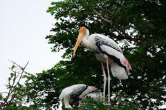 Painted Stork Mycteria leucocephala Stock Image