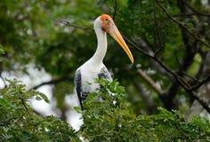 Painted Stork Mycteria leucocephala Royalty Free Stock Photography