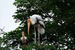Painted Stork Mycteria leucocephala Royalty Free Stock Photos