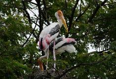 Painted Stork Mycteria leucocephala Stock Photography