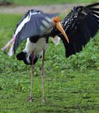 The painted stork Mycteria leucocephala is a large wader in the sto. Painted stork with open wings on the green grass background. The painted stork Mycteria Stock Image