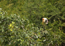 Painted Stork Royalty Free Stock Image
