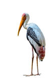 Painted Stork or Mycteria leucocephala. Royalty Free Stock Photography