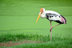 Painted stork. Royalty Free Stock Photo