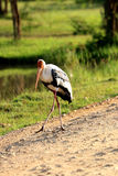 Painted stork Mycteria leucocephala. In Sri Lankan Royalty Free Stock Photo