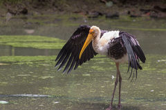 Painted Stork (Mycteria Leucocephala) stands with wings spread. India. Royalty Free Stock Photography