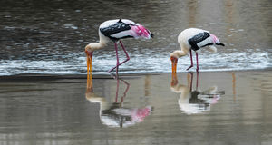 The Painted Stork or Mycteria leucocephala in a wetland park Stock Images
