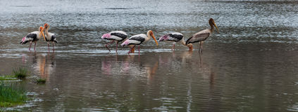 The Painted Stork or Mycteria leucocephala in a wetland park Royalty Free Stock Images
