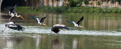 The Painted Stork or Mycteria leucocephala in a wetland park Stock Image