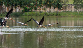 The Painted Stork or Mycteria leucocephala in a wetland park Stock Photo