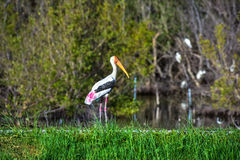 Painted Stork in nature. Stock Image