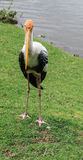Painted Stork near the Lake, Ibis leucocephalus Stock Photography