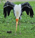 The painted stork Mycteria leucocephala is a large wader in the sto. Painted stork with open wings on the green grass background. The painted stork Mycteria Stock Photos