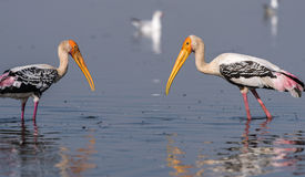 Painted Stork. Pair of Painted Stork searching for food early morning stock photos