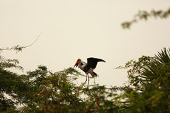 Painted Stork Portrait Royalty Free Stock Photo