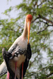 Painted Stork Portrait Royalty Free Stock Images