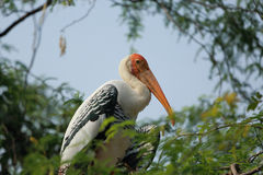 Painted Stork Stock Images
