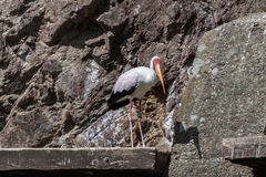 Painted stork Stock Photo