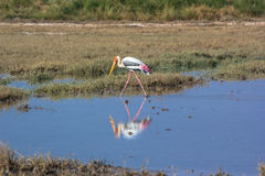 Painted Stork and reflection royalty free stock photography