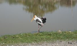 Painted Stork at Safari World Stock Images