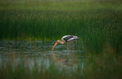 Painted Stork with small fish Royalty Free Stock Photography