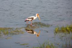 Painted Stork - Sri Lanka Royalty Free Stock Photo