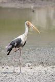 Painted stork  standing in pool water Stock Image
