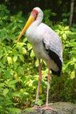 Painted stork standing on a stone (Mycteria leucocephala) Royalty Free Stock Photo
