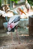 Painted Stork standing and walking in Trivandrum, Thiruvananthapuram Zoo Kerala India. Portrait of Painted Stork with pink feather standing and walking in Stock Photo