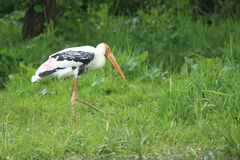 Painted stork. The painted stork strolling in the grass Royalty Free Stock Photography