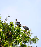 Painted stork on tree Royalty Free Stock Photography