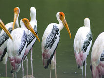 Painted Stork under Rain. Royalty Free Stock Photography