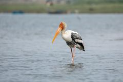 A painted stork wading in a lake royalty free stock image