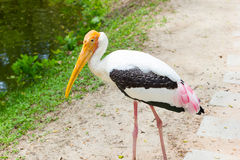 Painted stork walking on the street, Thailand Stock Photos