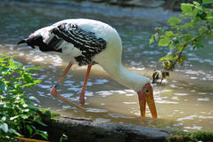 Painted Stork in water. Painted Stork looking for fish in pond stock photo