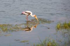 Painted Stork - Sri Lanka Stock Photos