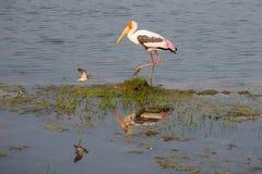 Painted Stork - Sri Lanka Stock Images