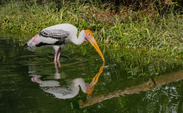 Painted stork at the zoo. Feeding birds in their nests Stock Images