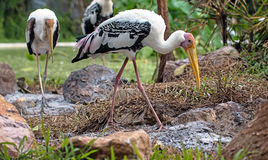 Painted Stork in the Zoo. Feeding birds in their nests Stock Photos
