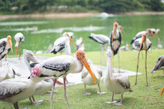 Painted stork in the zoo Royalty Free Stock Photo