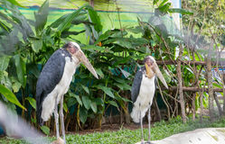 Painted stork in zoo Stock Images